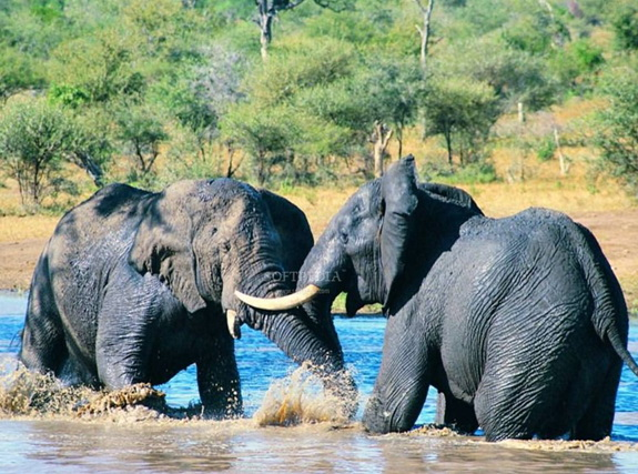 Elephants Free Screensaver
