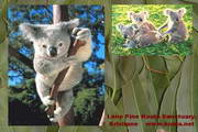 Koala Screen Saver