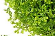 绿色含羞草ppt模板