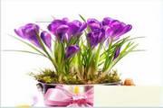 紫色水仙花图片...