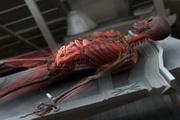 3D透明尸体模型