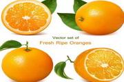 新鲜带叶橙子矢量图