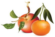 苹果与桔子矢量素材