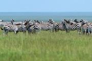 Zebras Free Screensaver