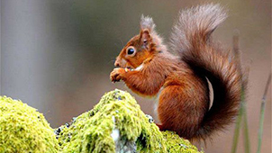 squirrel是什么意思