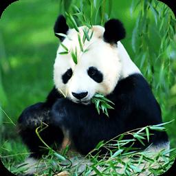 小熊猫图片拼图...