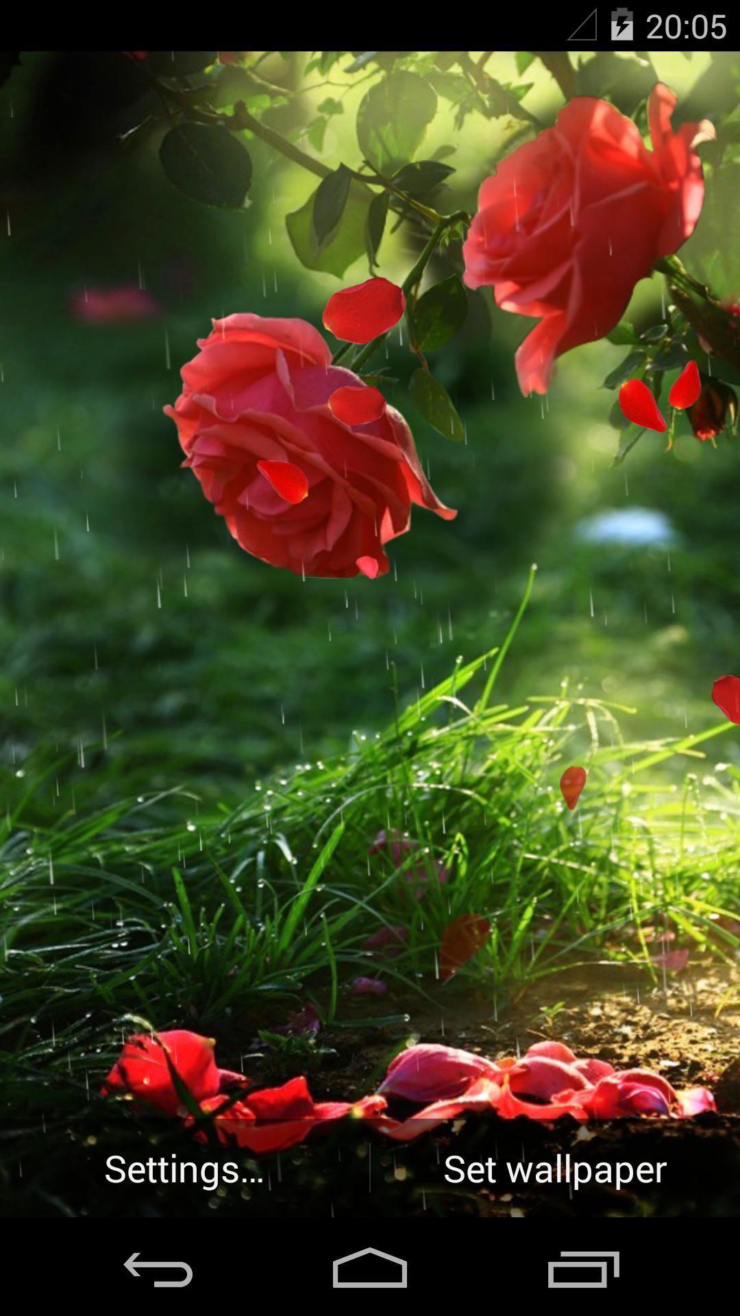 雨中玫瑰-梦象动态壁纸