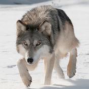 狼攻击模拟器3D 2.1