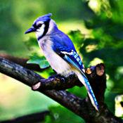 蓝鸟 - 观鸟声音,铃声和警报 2