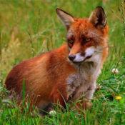 狐狸与猎狗 1.3.2