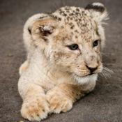 儿童拼图 教我动物园:学习有趣的动物园动物,比如狮子,老虎和