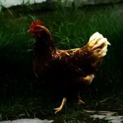 鸡咯咯叫 - 声音,铃声,警报和警报从农场 2