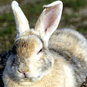 兔子的写真集 1.3