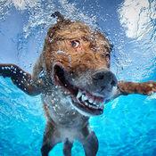 狗游泳比赛
