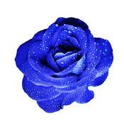 蓝玫花卉 1.0.1