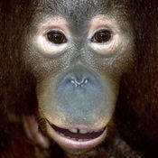 会说话的猩猩