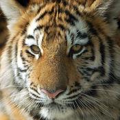 Tiger 老虎