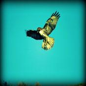 老鹰- 听起来在野生一个好猎手