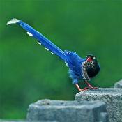 鳥-台灣特有種 Lite