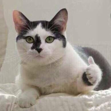 猫点赞表情包无水印版