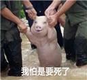 地震猪表情包无水印版 【完整版】