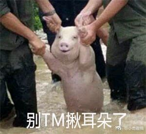 从台风中抢救出来的猪的表情包