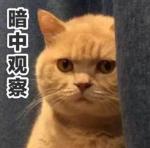 橘猫表情包无水印