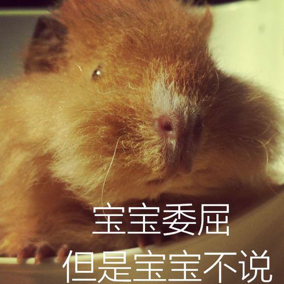 荷兰猪吃草表情包 高清无水印版