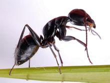 黑蚂蚁回家