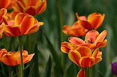 橘色郁金香主题