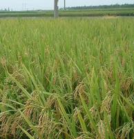 无公害稻米种植收购合同