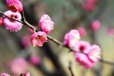 梅花朵朵开