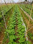 豇豆种植合同范文