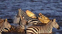 羚羊吃老虎