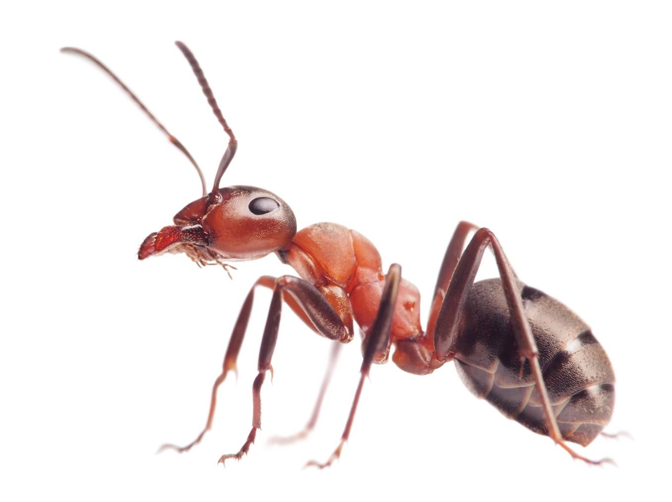 ant下载