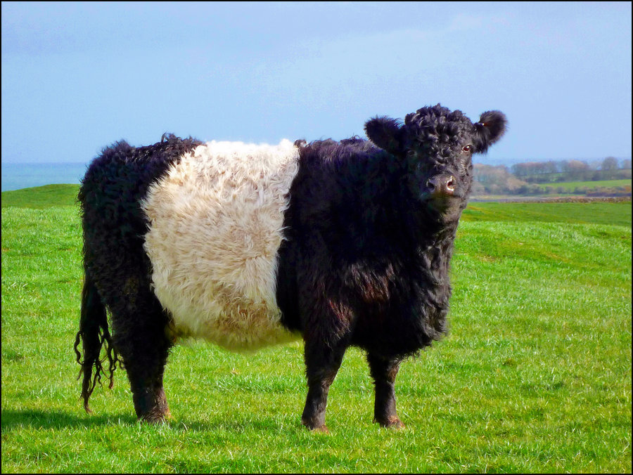 Belted Galloway ScreenSaver