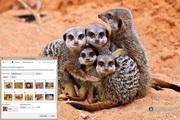 Meerkats Windows 7 Theme