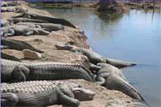 Alligator Screensaver 5