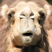 会说话的骆驼LOGO