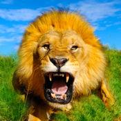野生狮子模拟器