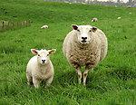 搞怪绵羊 for S60LOGO