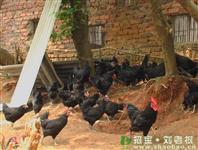蛋鸡养殖与饲料生产技术合作协议范文