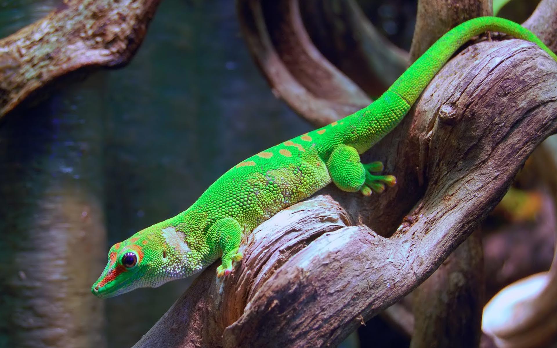 Gecko(QVGA)